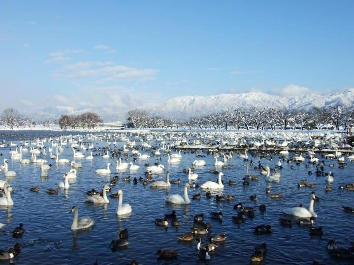 雪景色の中で5,000羽の白鳥に会える!?新潟県「瓢湖」と歴史スポット「水原代官所」