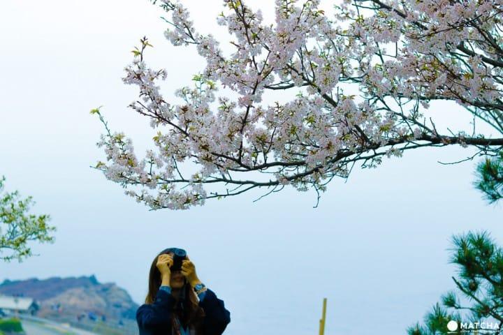 山口_元乃隅稲荷神社 桜