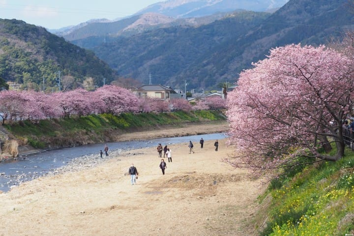 日本最早櫻花!東京近郊靜岡河津櫻