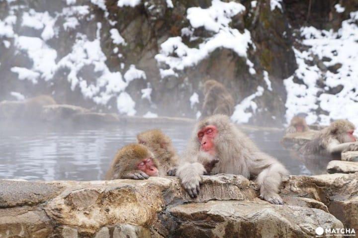 <ruby>温泉<rt>おんせん</rt></ruby>に <ruby>入<rt>はい</rt></ruby>って いる のは…サル!?<ruby>長野<rt>ながの</rt></ruby>・<ruby>地獄谷野猿公苑<rt>じごくだにやえんこうえん</rt></ruby>の スノーモンキーを <ruby>見<rt>み</rt></ruby>に <ruby>行<rt>い</rt></ruby>きましょう!