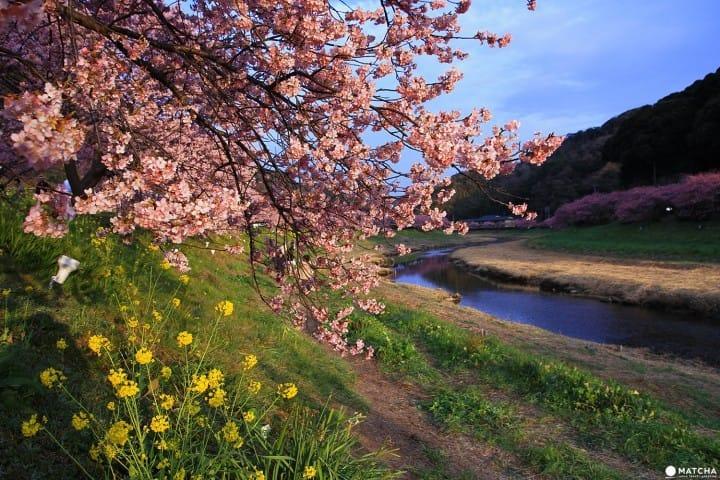 Cherry Blossoms And The Starry Sky! A February Trip To Shizuoka