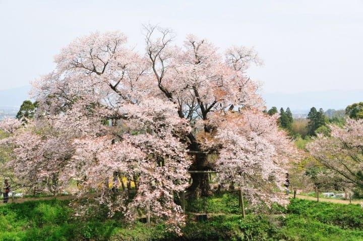【福岡】在地人必打卡的福岡櫻花景點五選