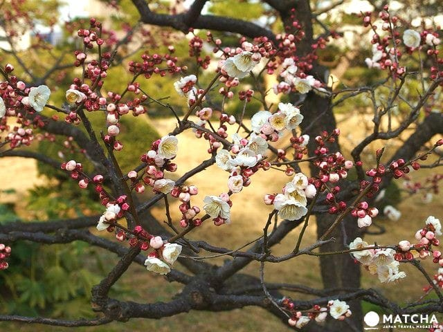 The 5 Best Plum Blossom Viewing Spots In The Tokyo Area