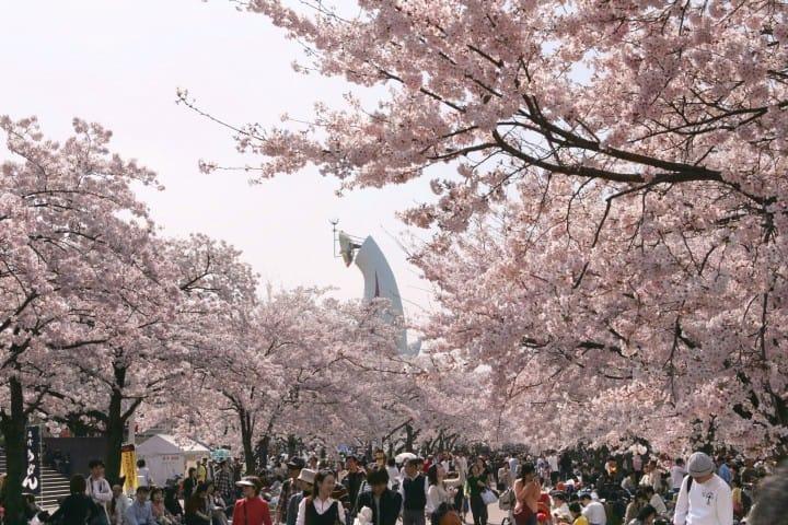 太陽の塔 桜
