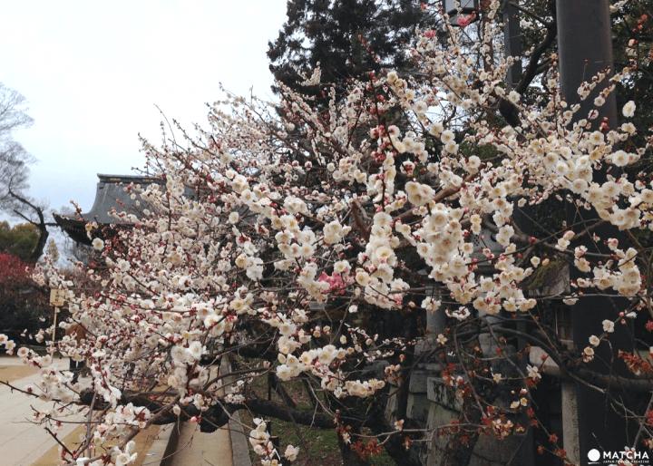 【京都】越冷越開花,初春賞梅散策三大名所推薦