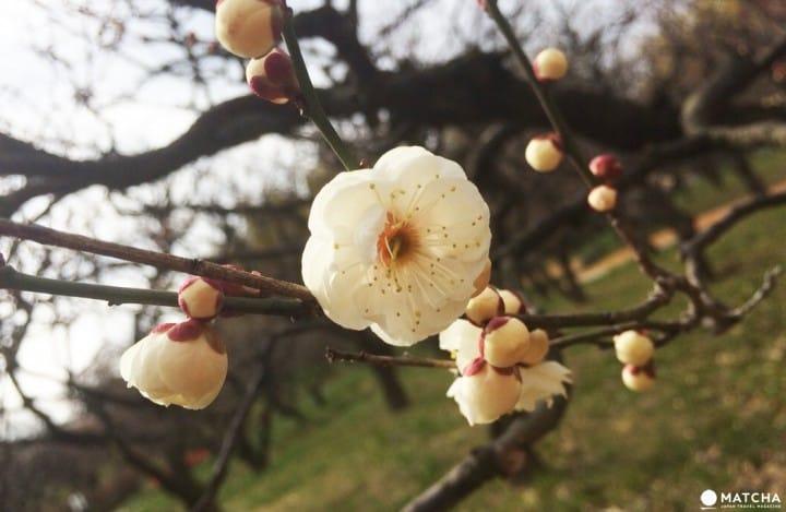 ให้โลกของเรารายล้อมไปด้วยสีชมพู กับเทศกาลดอกบ๊วย Ume Matsuri ที่สวน Expo 70 เมืองโอซาก้า