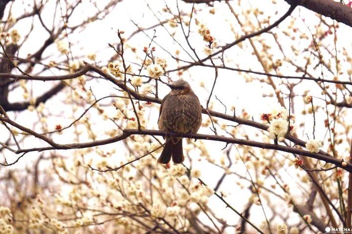 Setagaya Plum Blossom Festival - Relish The First Signs Of Spring