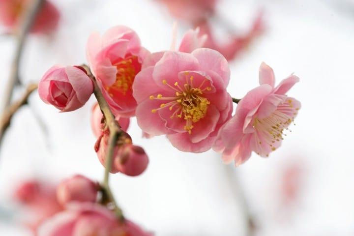 เทศกาลดอกบ๊วย (Ume Matsuri) ให้โลกของเรารายล้อมไปด้วยสีชมพูที่สวน Expo 70 เมืองโอซาก้า