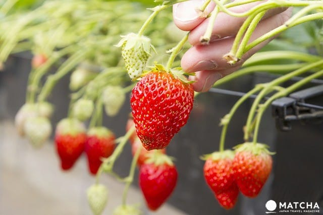 Sightseeing Near Narita Airport - Strawberry Picking, Shopping And More!