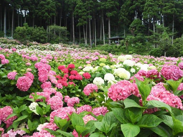 東京近郊千葉繡球花景點