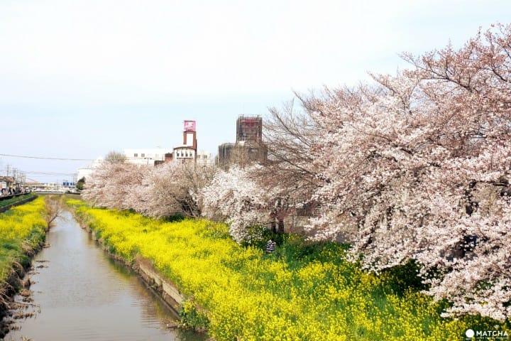 星巴克加浪漫櫻花 成就完美川越小江戶旅行