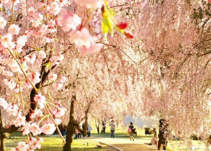 【北陆】春烂漫!福井县在地人推荐赏樱景点8选