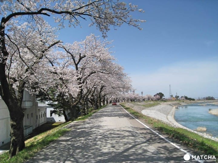 『富山县 南砺市』日本列岛最后一个秘境:庄川峡乘船赏樱