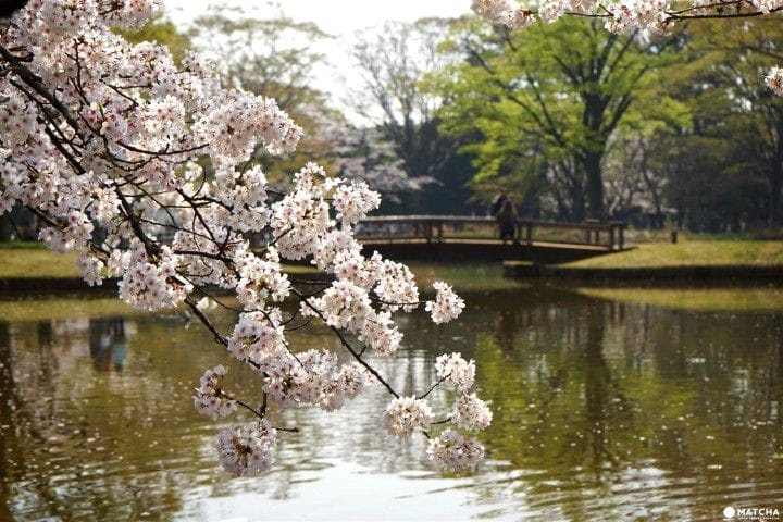 Yoyogi Park - A Walk Beneath Cherry Blossoms In Tokyo's Green Oasis