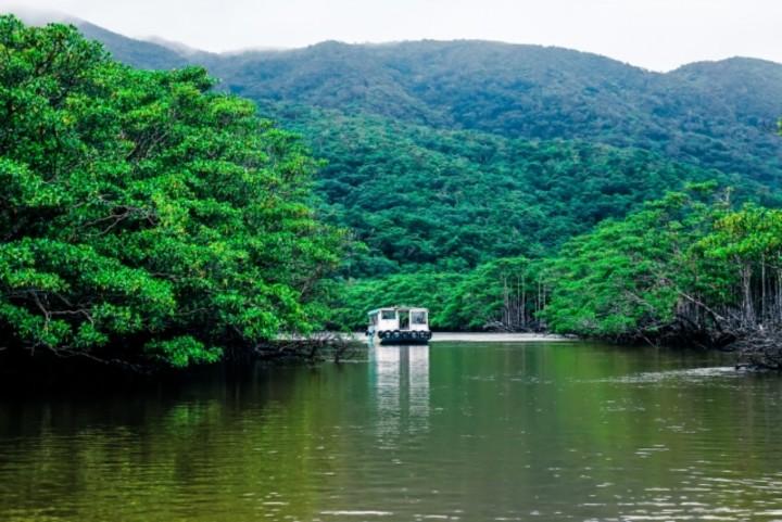 Mangrove di Iriomote