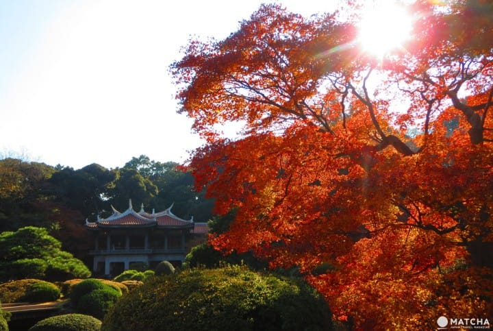 新宿御苑 楓葉