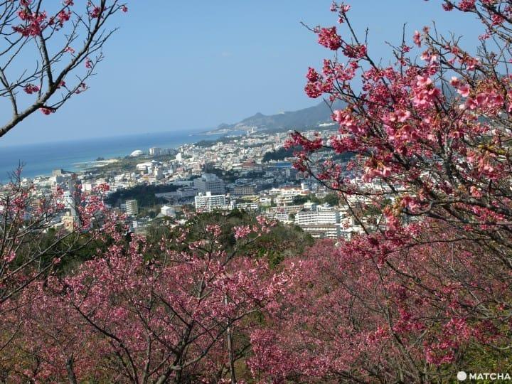 日本抢先看樱花!冲绳樱花祭5选(2020年版)