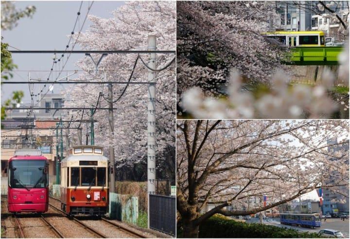 Tokyo Sakura Tram(都電荒川線)春天賞櫻行程,遇見粉紅東京下町