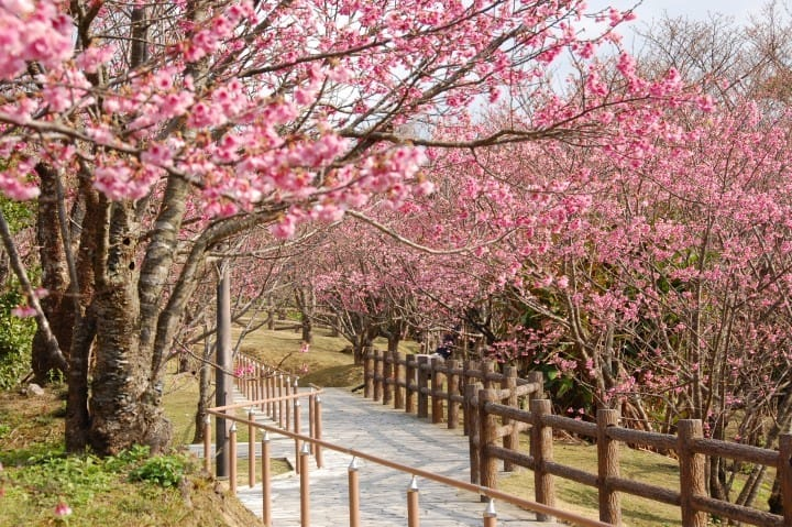 5 Amazing Okinawa Cherry Blossom Spots To Visit In 2019