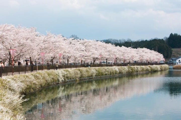 Japan's Cherry Blossoms In 2019 - Forecast And Best Spots!