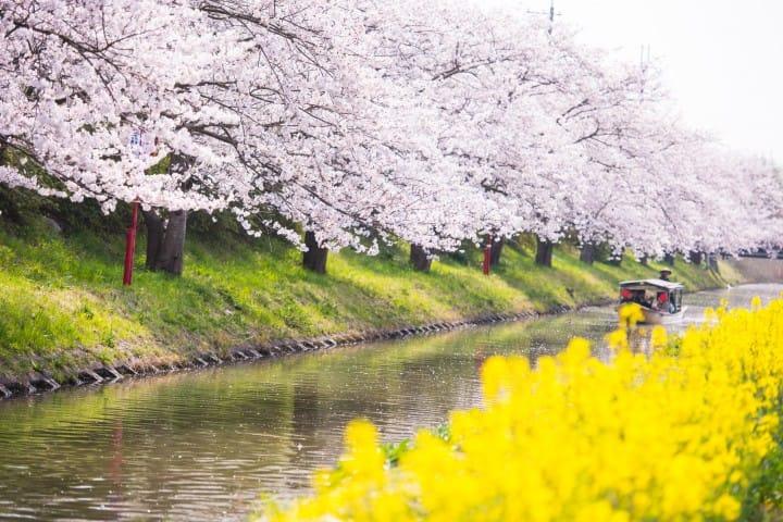 近江八幡櫻花