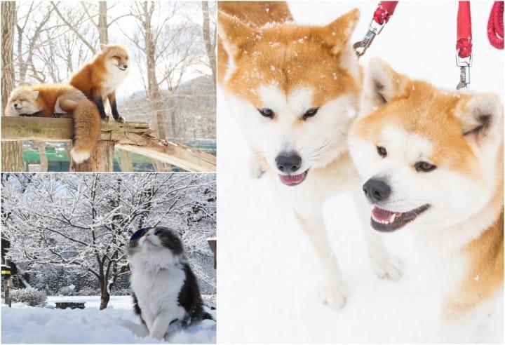 【東北】動物 X 溫泉的療癒之旅!貓咪、狐狸、秋田犬陪你度過暖暖冬天