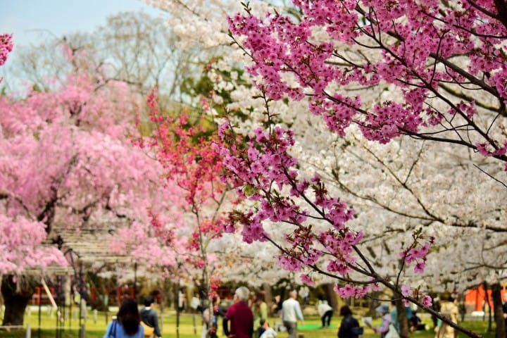 Kyoto's Cherry Blossoms - 15 Recommended Spots And Viewing
