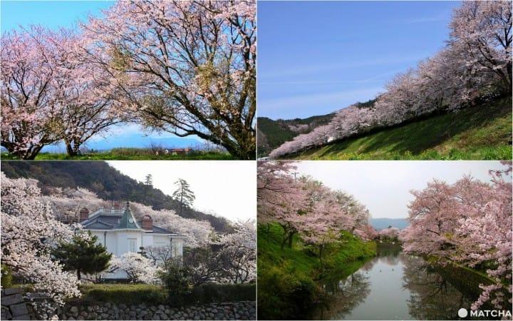 以大山和历史建筑为背景,拍下樱花美景!鸟取的梦幻樱花景点8选