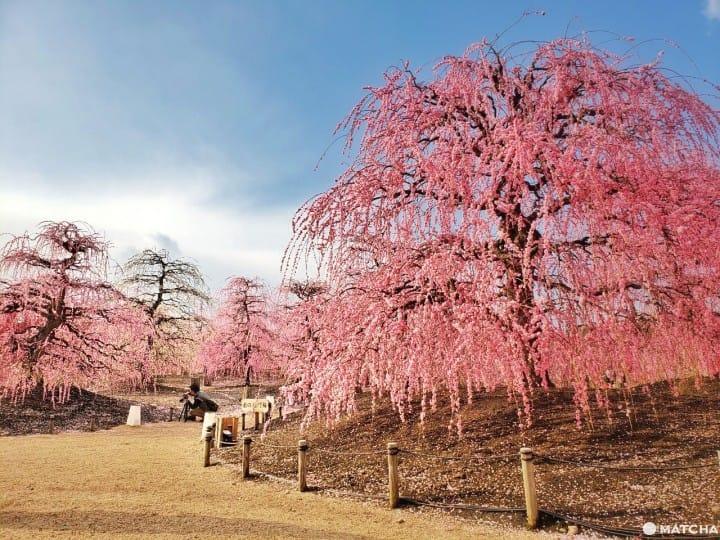 【三重】似櫻非櫻、更勝一籌的梅花仙境!鈴鹿之森庭園