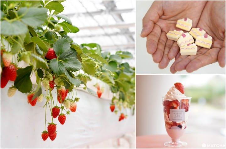 365天天天都能採草莓!