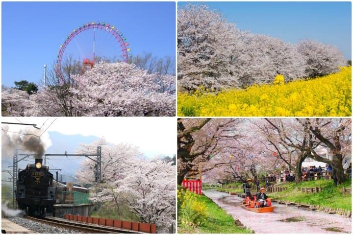 埼玉桜櫻花