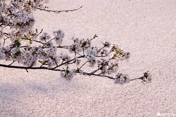 【青森】最美麗的粉色櫻花河與天守,弘前公園一日賞櫻