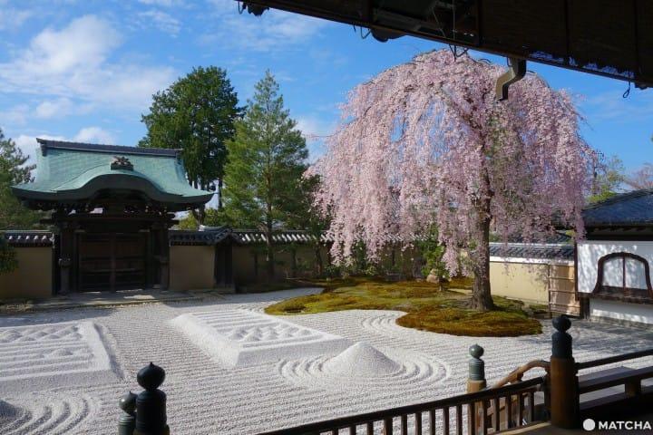 京都樱花开满天,赏花宝地任您选