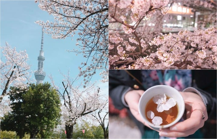Japan's Seasons In Photos - April: Lovely Cherry Blossoms