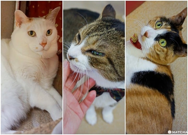 Asakusa Nekoen – Fall In Love With Adorable Cats At An Adoption Cafe!