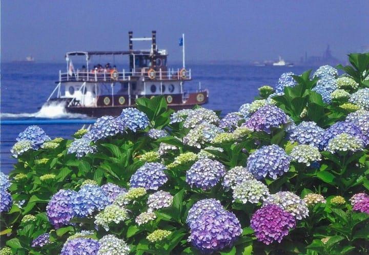 ไปโยโกฮาม่า ชมดอกไฮเดรนเยียกว่าสองหมื่นต้นที่งาน