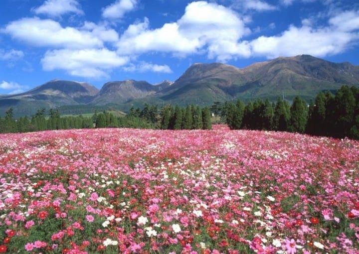 Kuju Flower Park in Taketa City, Oita: A World of Fragrant Flowers!