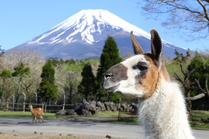Fuji Safari Park - Encounter Animals Up Close At Mt. Fuji's Base