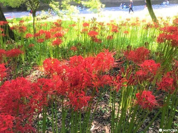 Kinchakuda Red Spider Lily Festival - A Sea Of Crimson In Saitama
