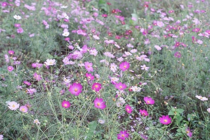 Japan's Seasons In Photos: October - Harvest And Cosmos Flowers