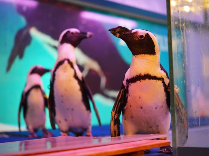 【沖繩那霸】可近距離接觸企鵝的「Penguin Bar 企鵝居酒屋」