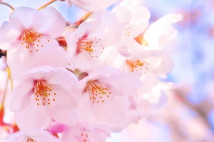 [SAKURA] Lima Jenis Bunga Sakura yang Menarik di Jepang