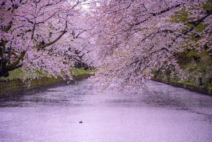 美しすぎる桜のじゅうたん!「弘前城」〜見どころ、アクセス、桜まつり情報
