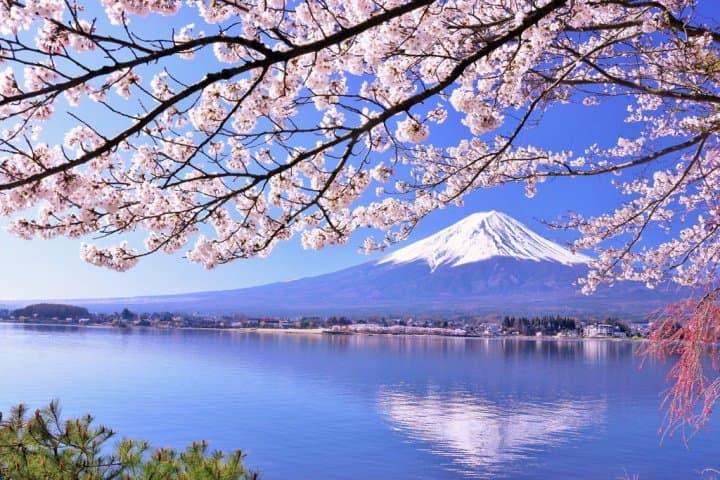 河口湖 櫻花