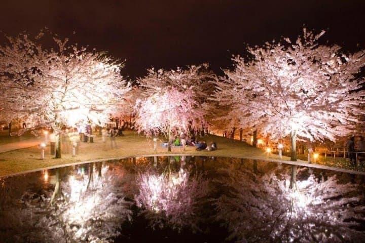 4 Spot Terbaik di Prefektur Niigata untuk Melihat Bunga Sakura di Malam Hari