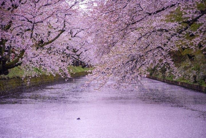 Hirosaki Castle, A Famous Cherry Blossom Spot In Aomori
