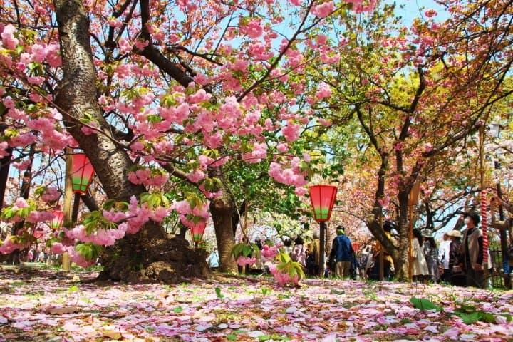 【2020大阪賞櫻】關西賞櫻名所,百樣品種櫻花齊放「大阪造幣局」