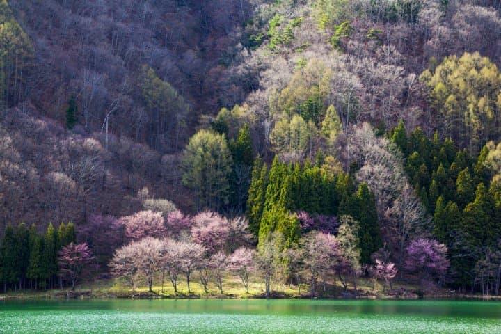 【長野】跋山涉水也願意!尋找那些被藏起來的賞櫻秘境8選