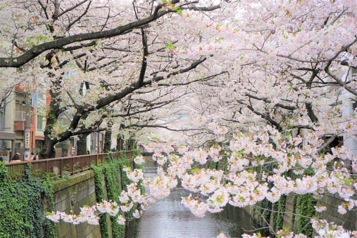 Sakura In Tokyo 2020 - Meguro River