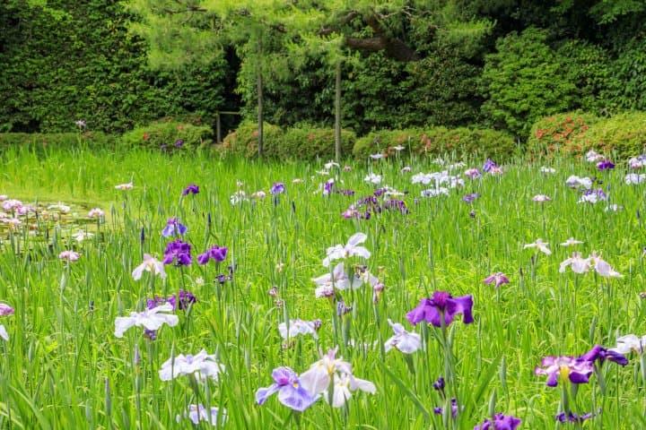 Japanese Irises A Delicate Icon Of Summer S Beginnings Matcha Japan Travel Web Magazine